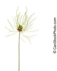 flowering ornamental onion - unusual rare flowering gentle...