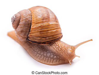Snail isolated on white - brown slimy Snail isolated on...
