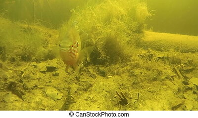 Perch under water in the river - California perch swims...