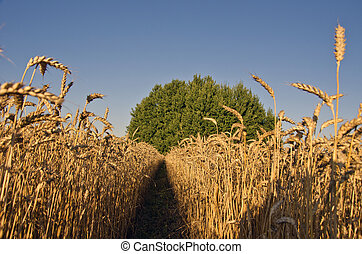 成熟, 夏天, 結束, 小麥, 風景