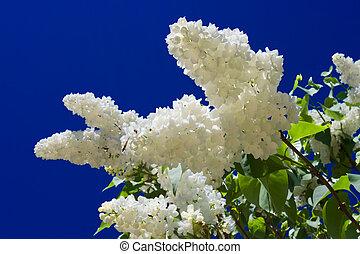 Flowers of white bird cherry tree and blu sky