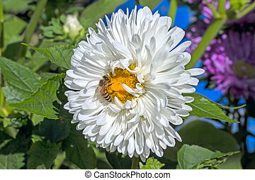 Bee on white aster. Nature background