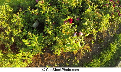 Flower bed of roses