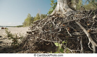 Pattern of intertwined tree roots - The pattern of...