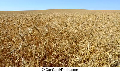 Wheat Field Waving In The Breeze - Golden field of wheat...