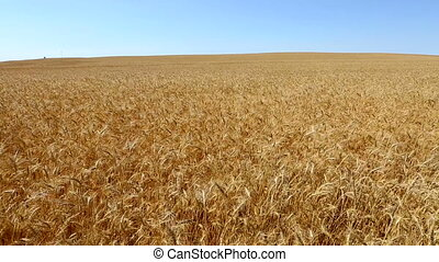 Wheat Field Waving The Breeze Pan - Camera pans across a...