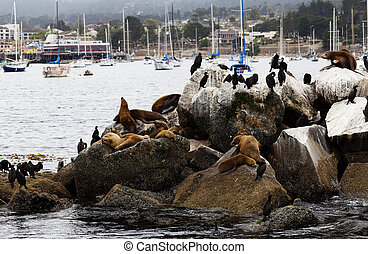 Sea Lions and Cormorants On Breakwater Monterey Bay -...