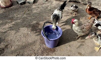 Poultry drinking water with buckets