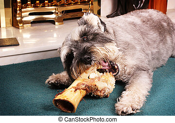 Dog chewing bone - A cute Miniature Schanuzer chewing on a...