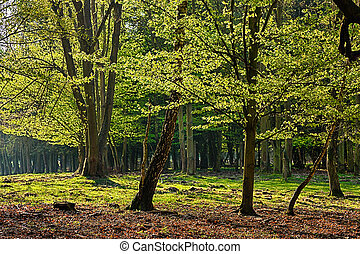 The hornbeam forest - The old hornbeam forest in falls...