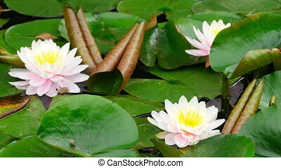 Lotus flowers in a pond, close-up