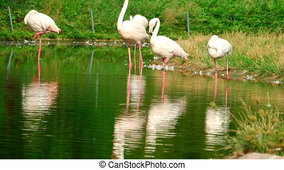 Pink flamingo - More Pink flamingos in the pond, summer day