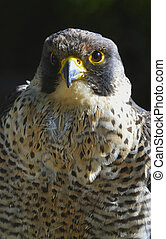 Peregrine - The peregrine falcon Falco peregrinus, also...