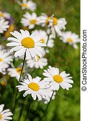 daisy on the summer meadow