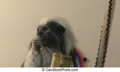 Monkey Oedipus Tamarin - Oedipus Tamarin view igrunkovyh...