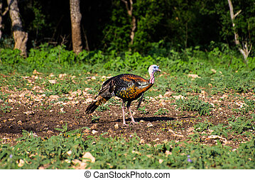 Vibrant Texas Turkey standing Front Left - Wild South Texas...