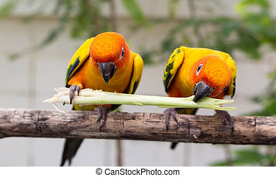 Conure - Two conure birds eating
