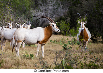 Scimitar Horned Oryx - Wild Scimitar Horned Oryx Bull and...