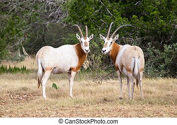 Scimitar Horned Oryx Bull and Cow - Wild Scimitar Horned...