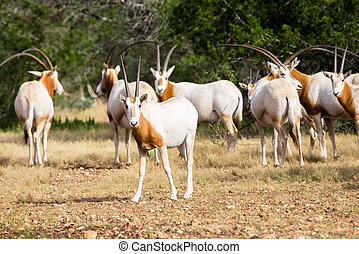 Scimitar Horned Oryx Calf - Wild Scimitar Horned Oryx calf...