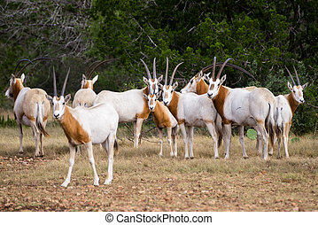 Scimitar Horned Oryx Herd - Wild Scimitar Horned Oryx herd...