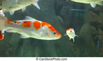 Exotic fishes in an Aquarium