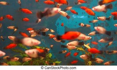 Exotic fishes in an Aquarium