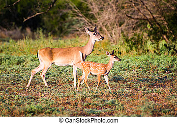 Whitetail fawn and doe - South Texas Whitetail fawn with its...