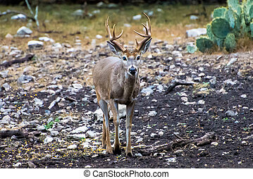 White Tail Buck - White tail buck walking towards the...