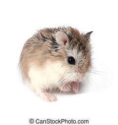 Roborovski hamster - Dwarf Roborovski Phodopus Roborovskii...