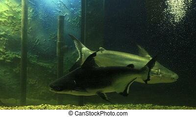 Wels catfish in the beautifully decorated Aquarium.