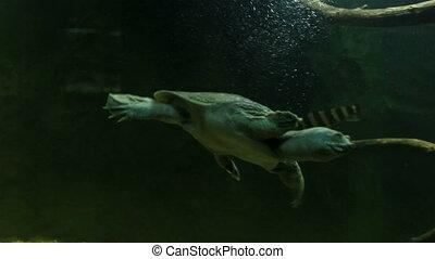 Chinese softshell turtle Beautifully decorated Marine...