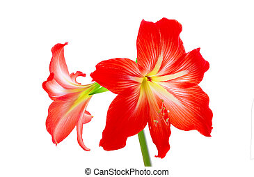 Hippeastrum flowers - Red exotic hippeastrum flowers...