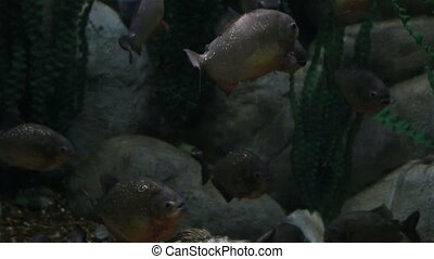 Serrasalmus is a genus of piranhas. Beautifully decorated...