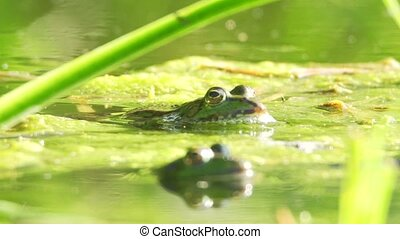 edible frog - Rana kl. esculenta - in a lake