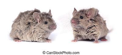 dos, poco, salvaje, ratones