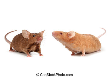 cute little mice - cute two fancy mice isolated on white...