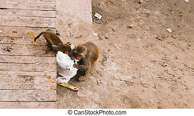 Monkeys searching for food - Social Issue, Monkeys searching...