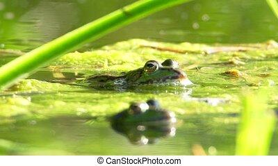 edible frog - Rana kl. esculenta - in a lake
