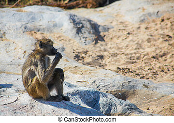 The Thinker Baboon
