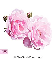 Pink rose with leaves on white background. Vector illustration
