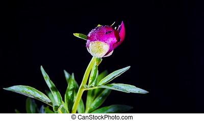 Peony Flowering - timelapse of peony flowering
