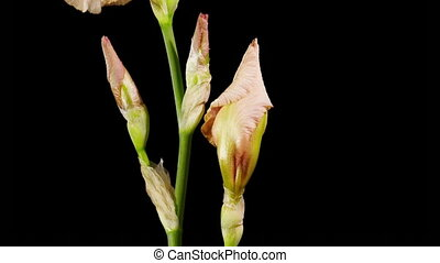 Iris Flower - Timelapse opening iris flower on the black...
