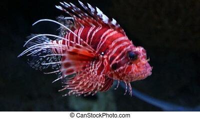 Lion fish in aquarium with dark background