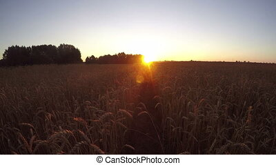 sunrise in farmland wheat field