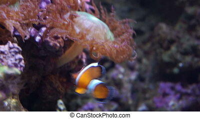 Clown fish. Clown fish playing in a living coral