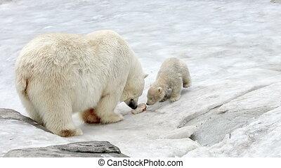Polar bear and bear-cub feeding - Polar bear and cub eating...