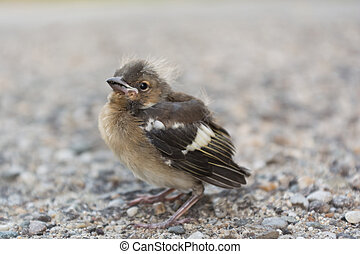 Sparrow helpless in the street - helpless house sparrow on a...