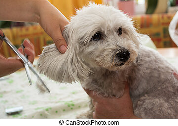 small white dog in the pet grooming - dog hairdresser at...