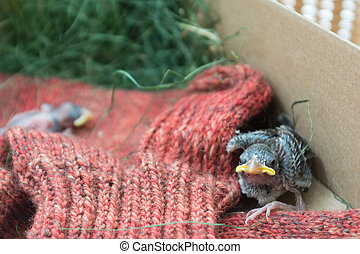 helpless nestlings - newly hatched sparrow fallen from the...